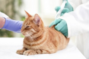 Veterinarian giving injection insulin to a cat