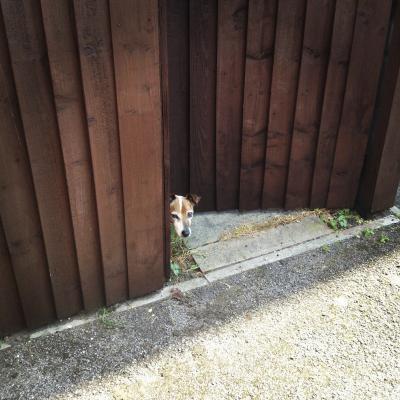 Dog peeking behind wood fence