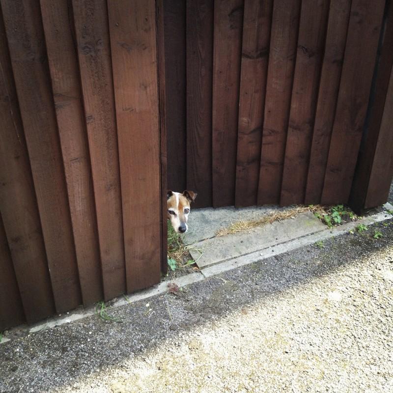 Dog peeking behind wood fence
