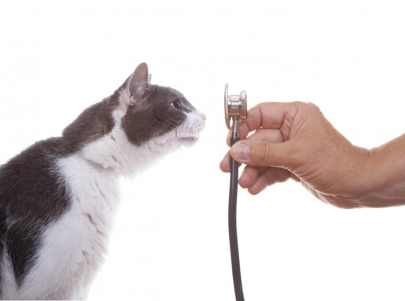 Cat Examining a Stethoscope