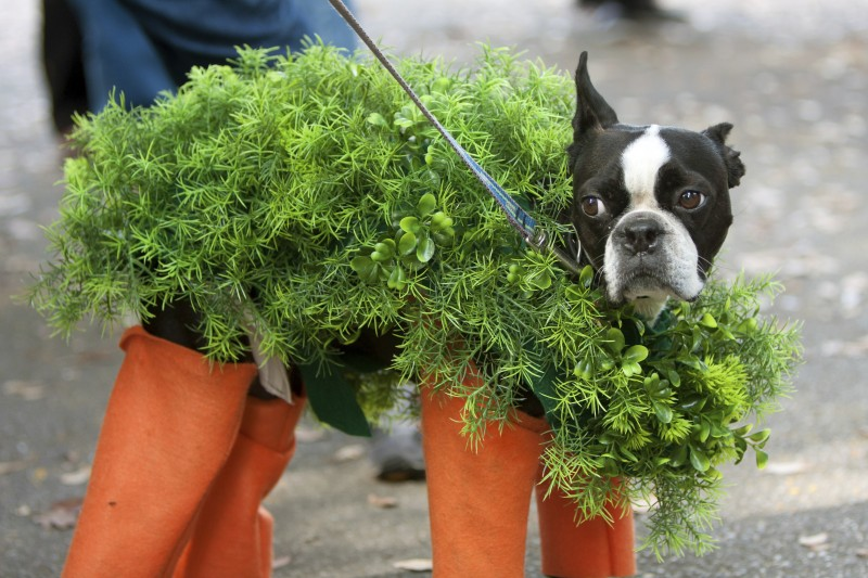 Dog Dressed In Chia Pet Costume For Halloween