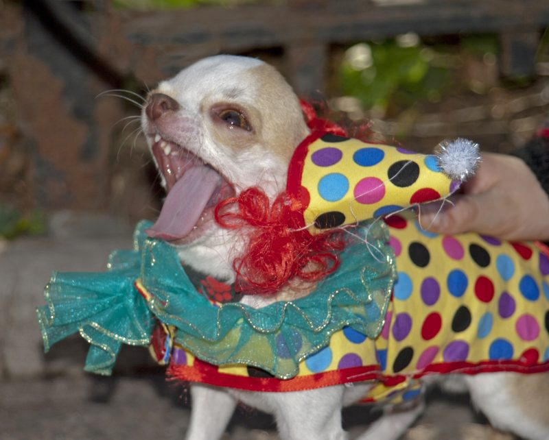 Chihuahua Wearing Clown Costume