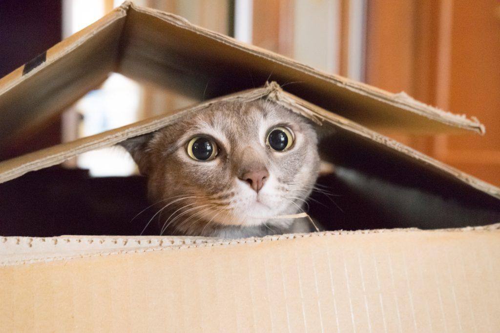 Cat playing Peek a Boo in a box