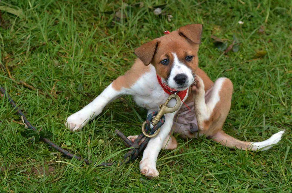 A puppy scratching itself