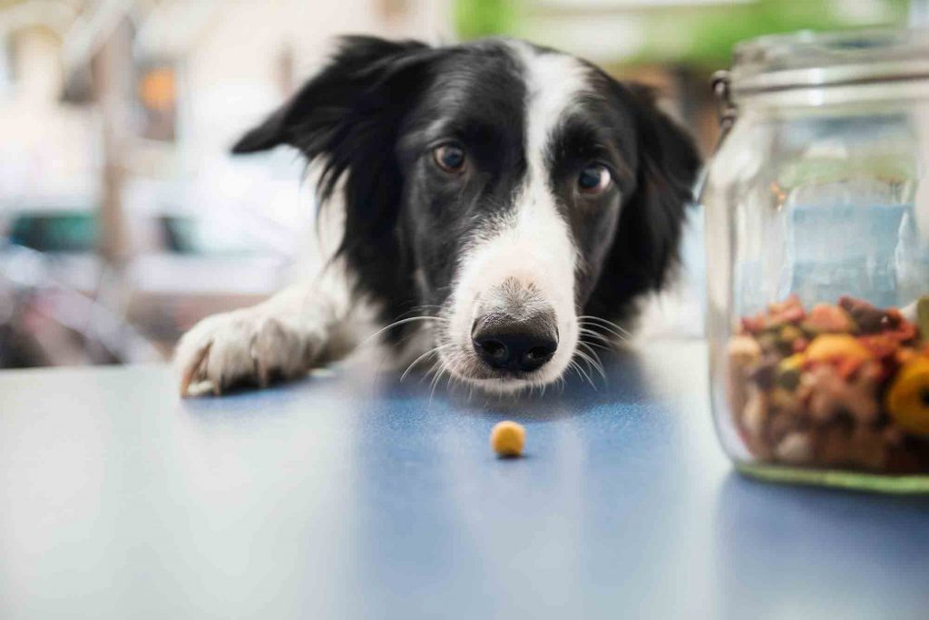 A dog looking at a treat on a countertop