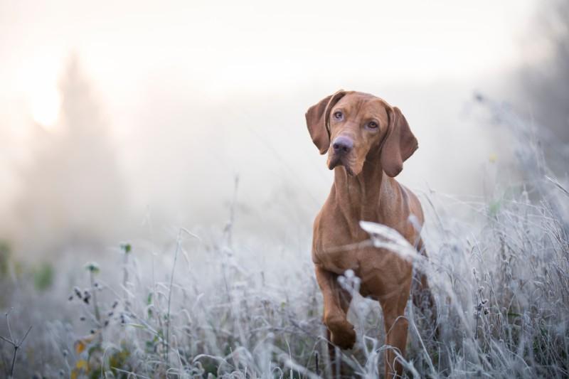 A Weimaraner standing in a field