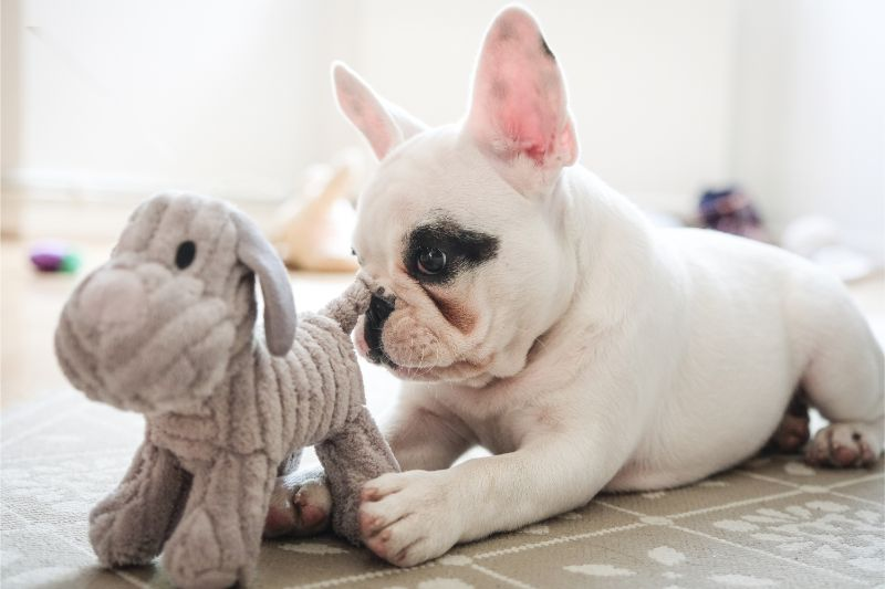 A terrier puppy with its stuffie