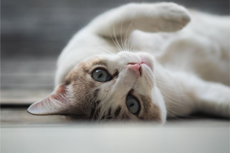 A cat rolling on the floor