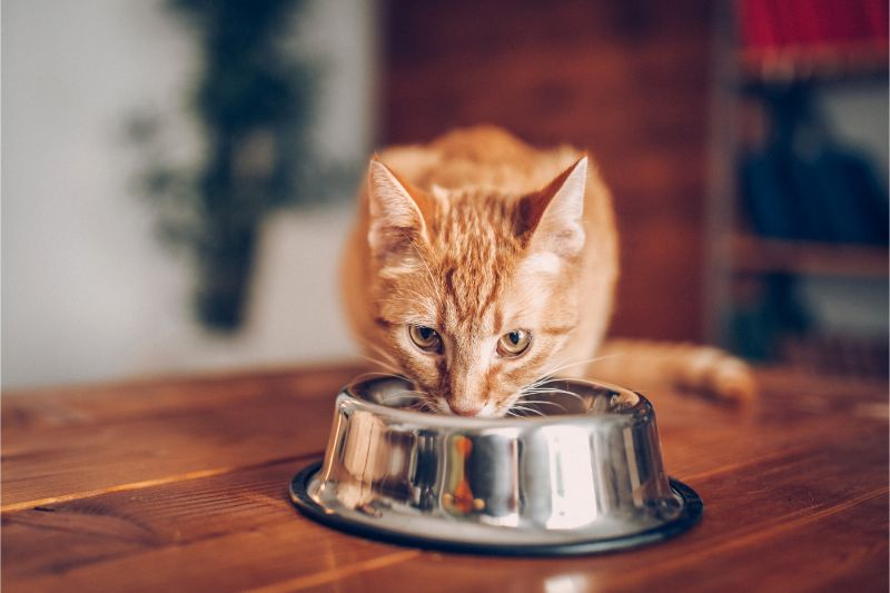An orange cat eating a meal