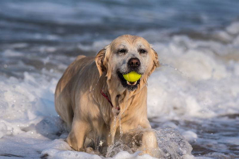 Dog with tennis ball in mouth playing in ocean