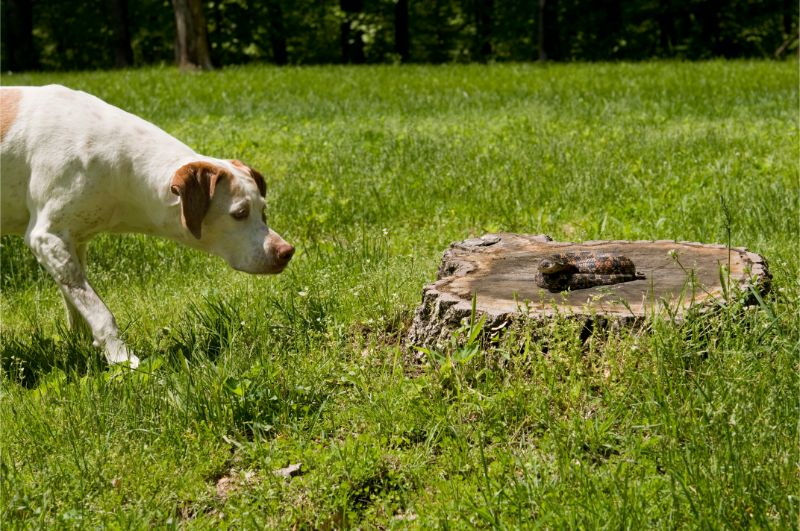 A white dog tentatively approaches a rattlesnake coiled on a tree stump in a backyard.