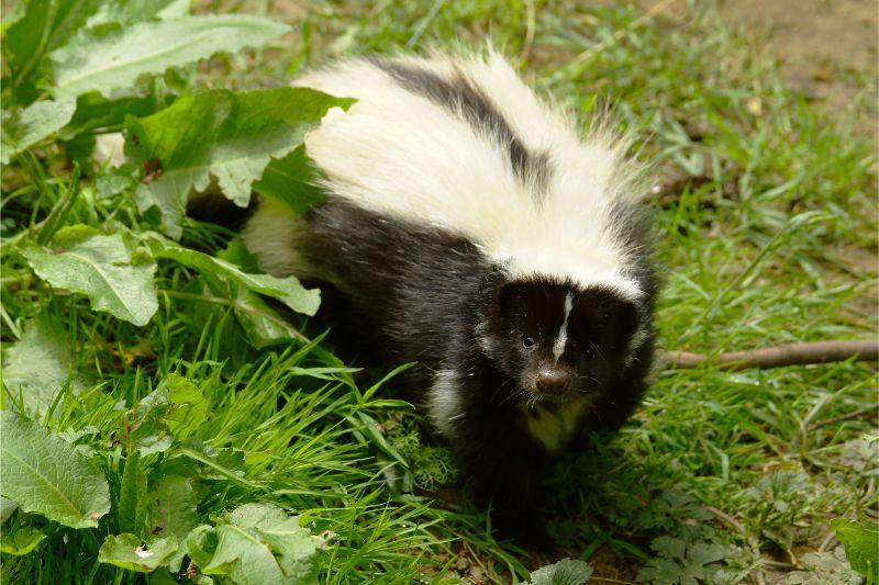 A skunk in grass