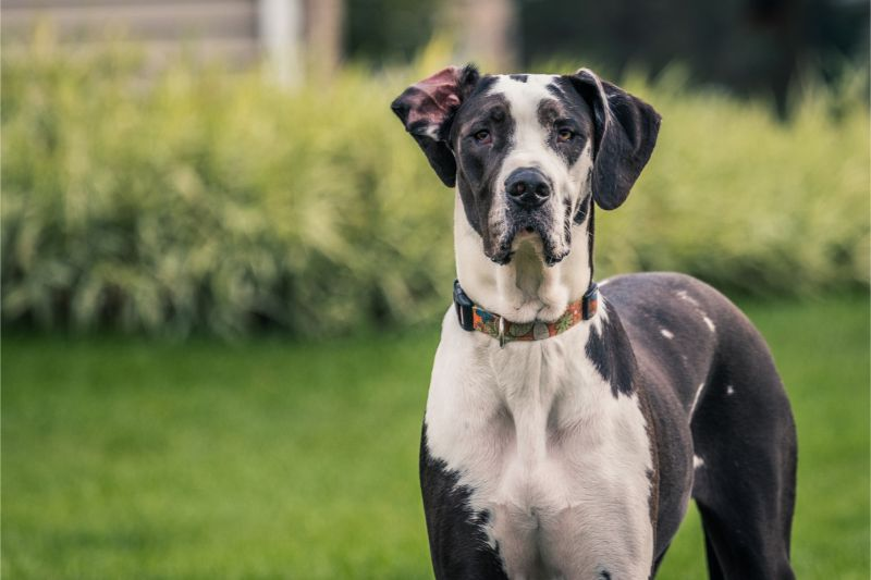 A black and white dog standing alert