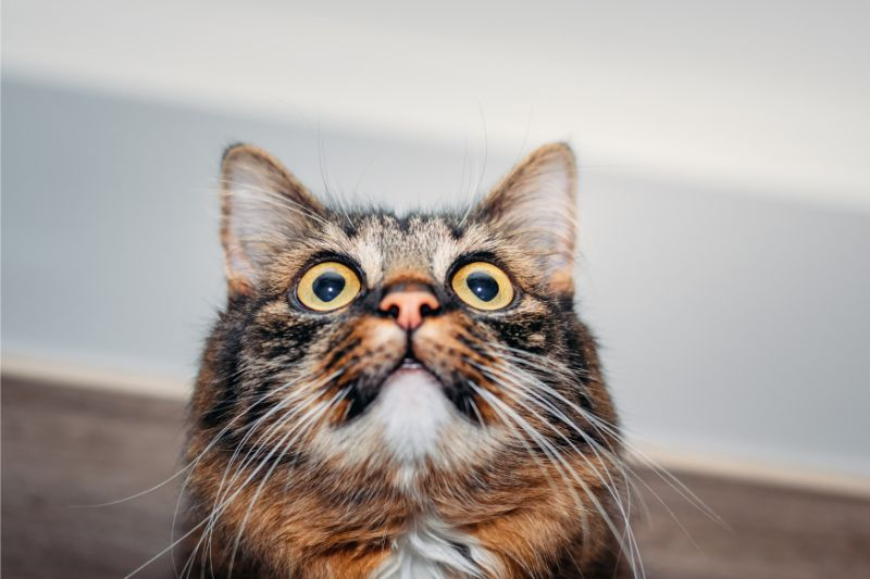 An alert cat looking upwards
