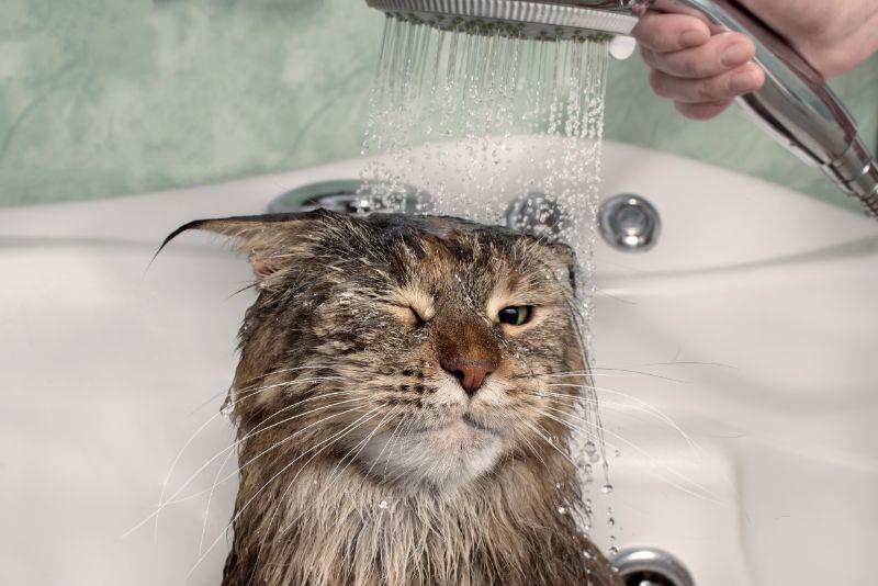 A cat getting a shower