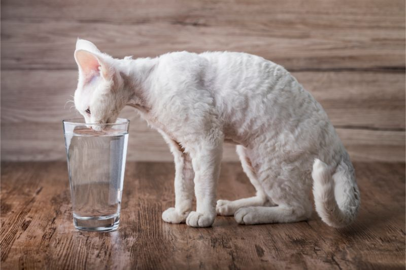 A white cat drinking from a glass