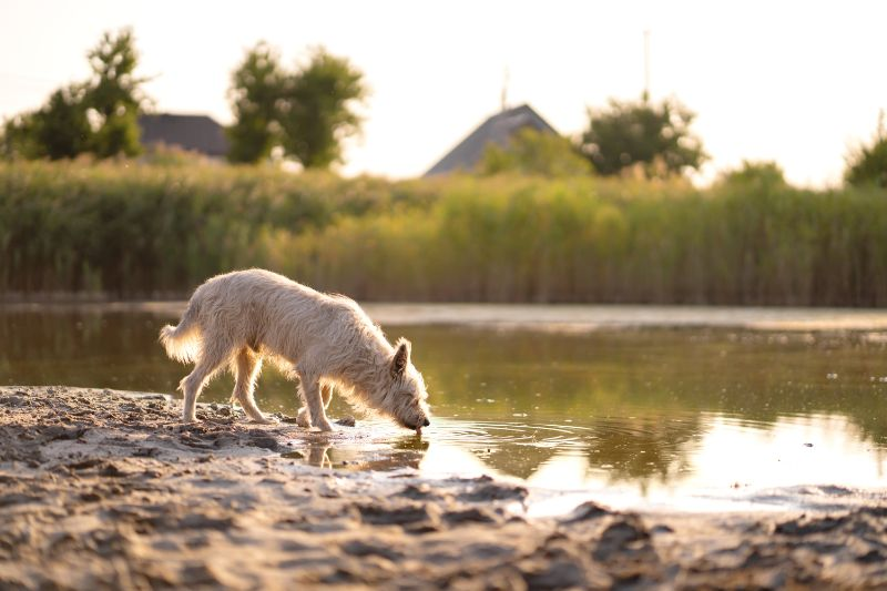A dog drinking from a river