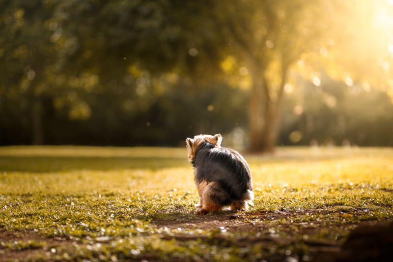 A dog squatting in a field