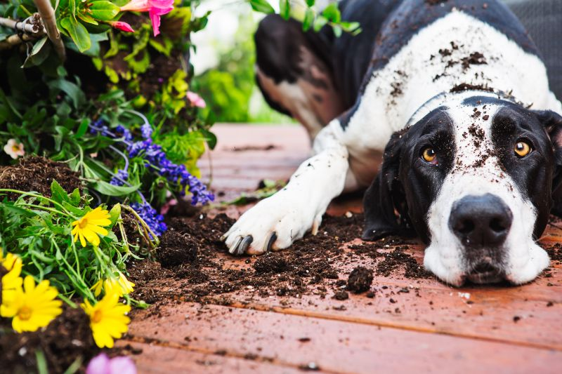 A dog laying in the dirt they've just dug up