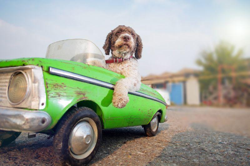 Rocklin, CA dog driving car