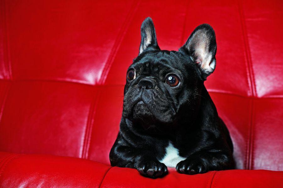 Small dog trembling