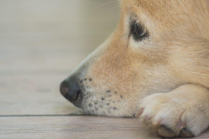 Rocklin, CA adopted dog