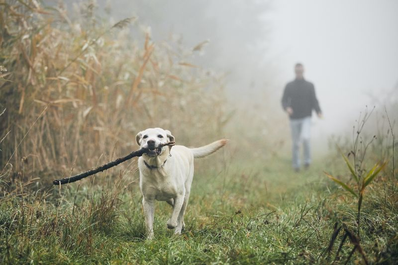 A dog running with a stick
