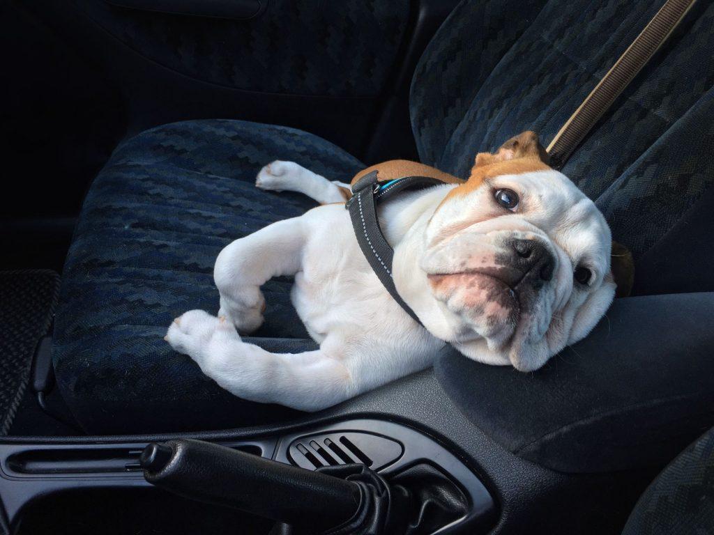 Rocklin CA Covid dog