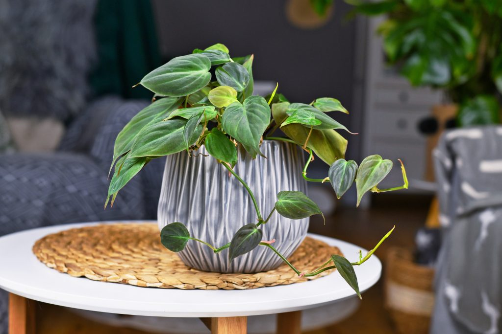 Tropical houseplant with heart shaped leaves with velvet texture in gray flower pot on coffee table.