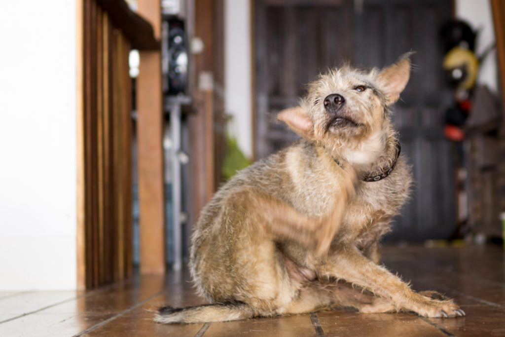 Happy pet terrier dog scratching chin with leg